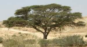 What is the significance of acacia wood in the Bible? - Quora