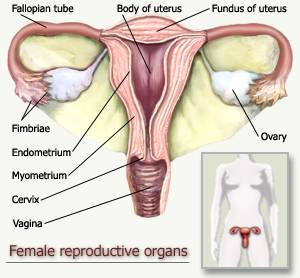 Where do babies come from? How are babies made? Specifically, what ...