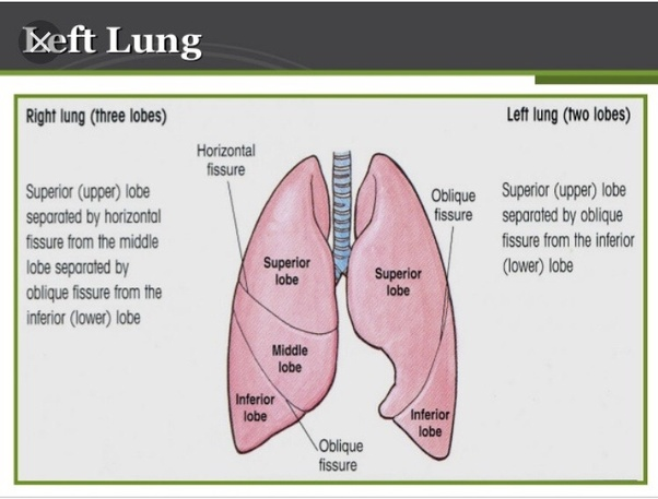 Image result for lobes of lungs