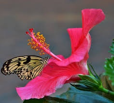 What Is The Last Part Of Hibiscus Flower Quora