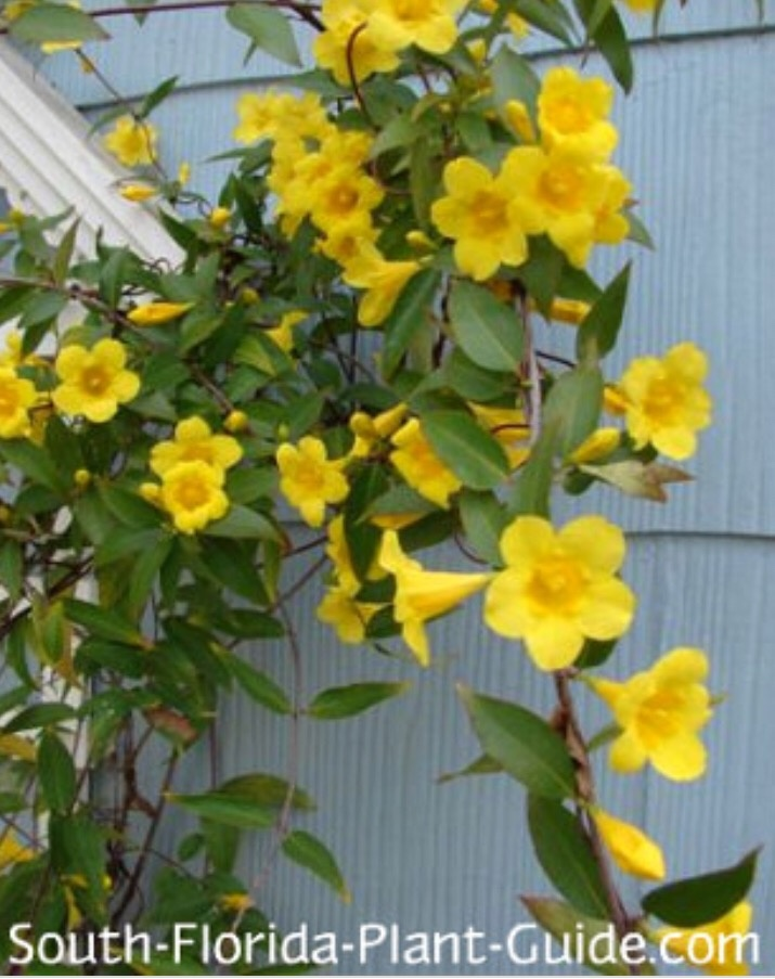What Is The Name Of The Yellow Flowering Vine That Grows On Fences