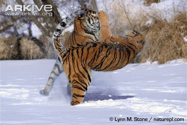Bear Vs Tiger Who Wins