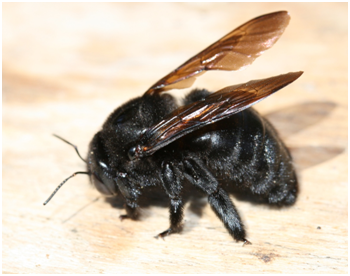 How To Get Rid Of Those Big Bumble Bees Or Carpenter Bees