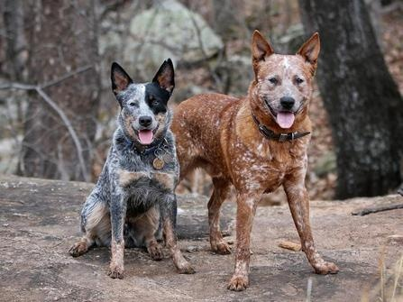 Are Red And Blue Heelers The Same Breed