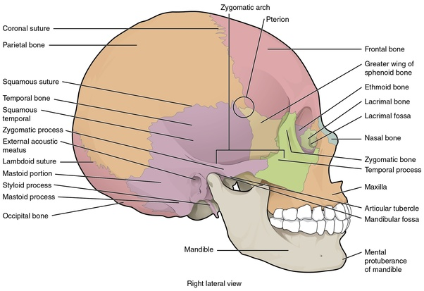 Which Is An Example Of Movable Bone In The Skull Quora