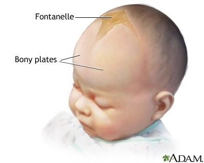Anatomy: What is the difference between an infant and adult skull ...