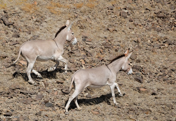 Two donkeys running.