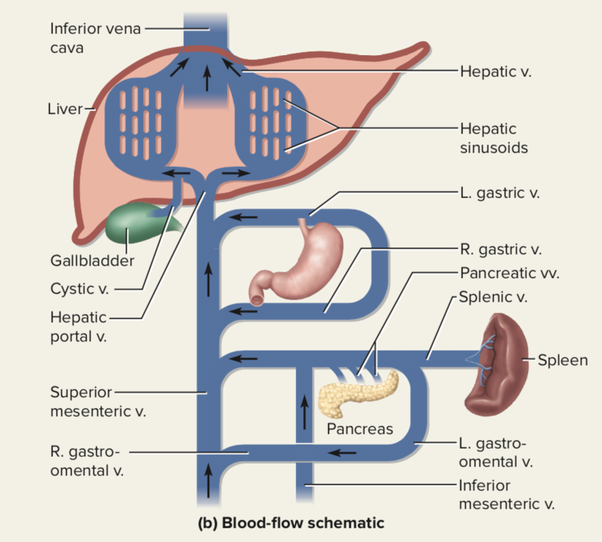 Which Artery Does The Pancreas Release Hormones Through Quora