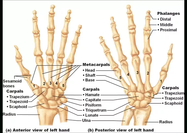 What Are The Names Of Hands Bones Quora