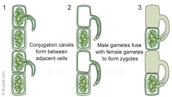 How do spirogyra reproduce in biology quora image source google images ccuart Gallery