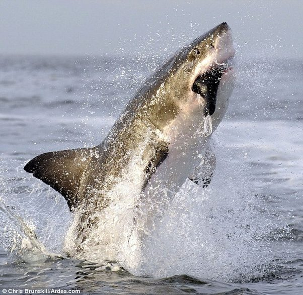 What Animal Did The Megalodon Eat To Survive? How Much Did