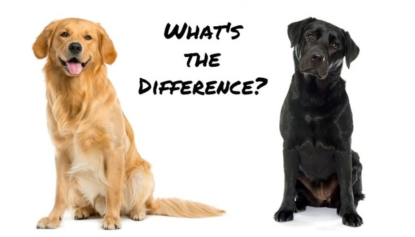 Whats The Difference Between A Labrador And A Golden Retriever Quora
