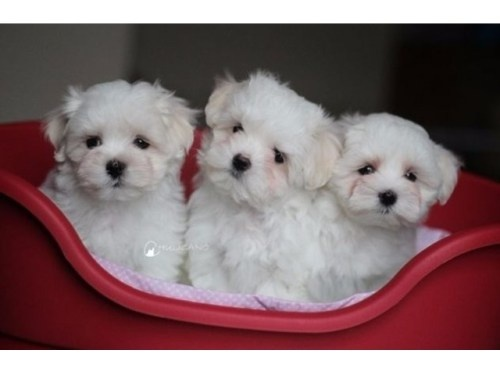 Long Fluffy Furred Maltese Puppies Available In Mypetstation Ranging From Rs 45000 Bangalore India You Can Go Through The Website