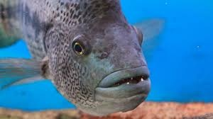 As An Aquarist Have You Ever Been Attacked By A Large Fish Quora