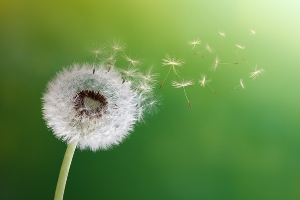 Yes, though the puffy white stage isn't a flower, it's the seed head. Each seed is attached to a white strand that helps it to be carried away on the wind.