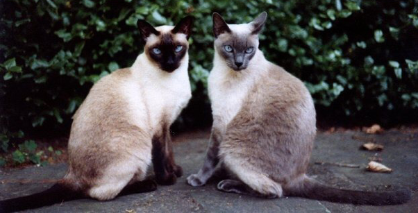 Are Siamese Cats Ugly Quora