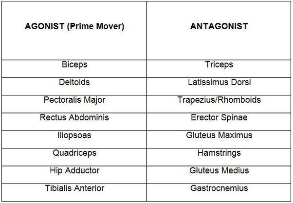 What Are The Antagonist Muscles In A Lunge Quora