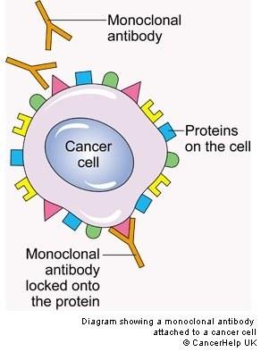 What Are Monoclonal Antibodies Quora
