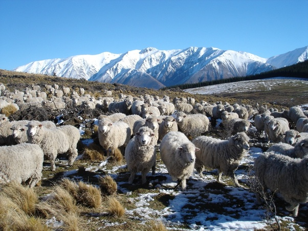 Why Does The Uk Get A Lot Of Its Lamb Meat From New Zealand Which Is So Far Away Quora