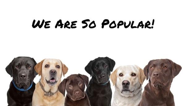 Is a Labrador a good first dog? - Quora