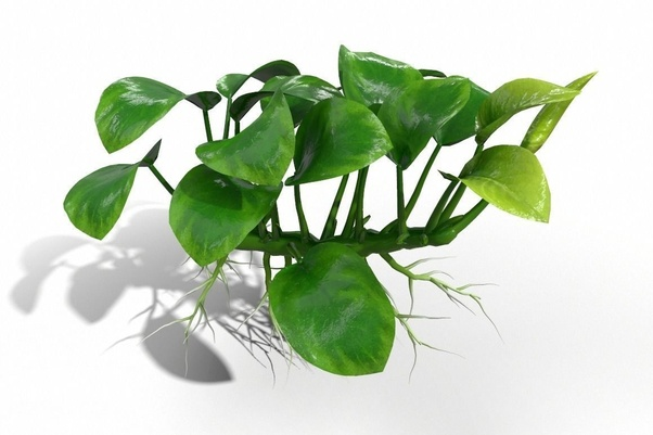 Anubias Species Are Slow Growing And Have Rhizomes, So Theyu0027re Able To  Survive For A Long Time On Stored Nutrients. Onions, Ginger, Potatoes And  So On Can ...