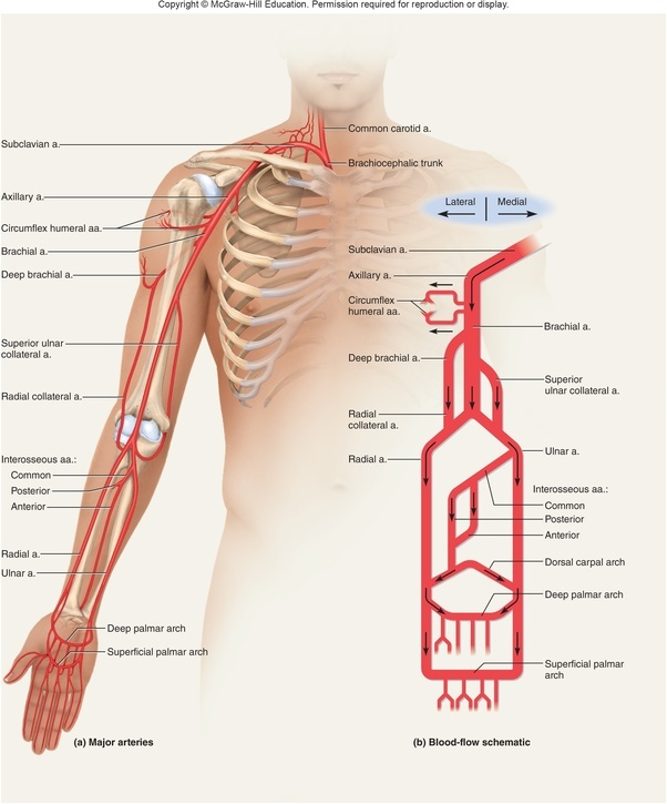 What is the best way to memorise the course of arteries and veins in ...