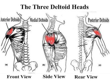 What are the functions of the deltoid muscle in humans? - Quora