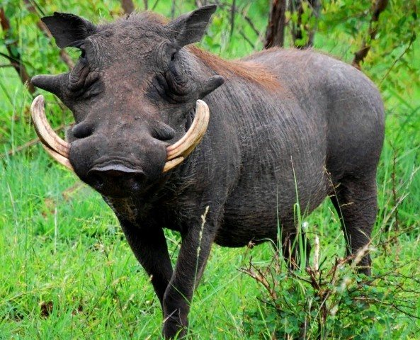 what are the differences between a boar and a wildebeest quora