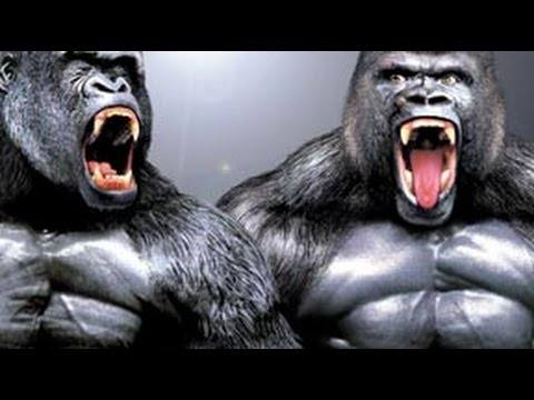 How Strong Would A Body Builder Gorilla Be Quora