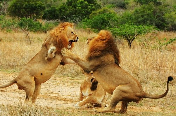 Rory Young's answer to Who will win a fight between a tiger and a lion?