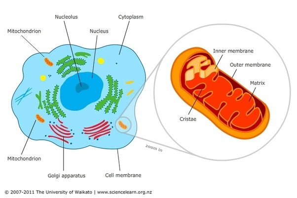 Why Is The Mitochondrion Called The Powerhouse Of A Cell Quora