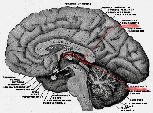 What Is The Function Of The Epithalamus In The Brain Quora