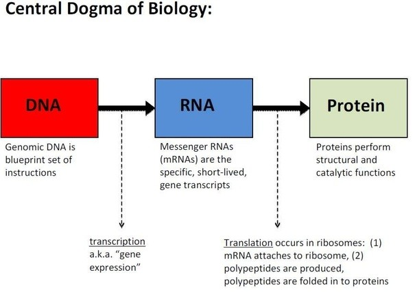 Do we only get protein after rna create it from transcription quora we get the protein only through rna by active participation all three rnas and not directly from the dna malvernweather Choice Image