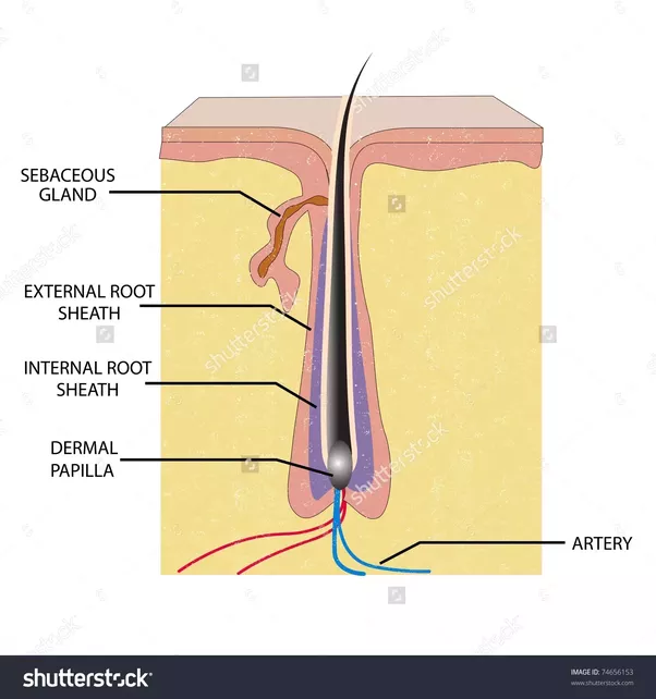 It S The Hair Internal Root Sheath Covering You Pulled Out Too