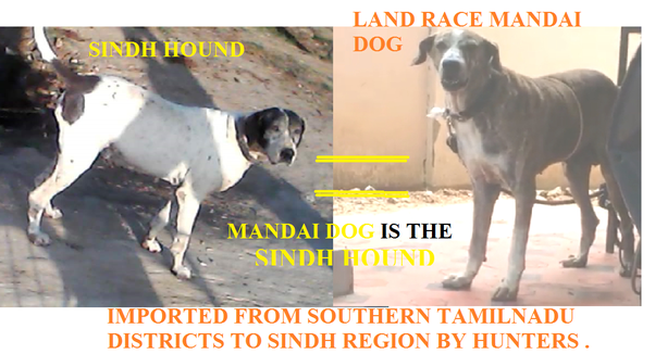 Is Land race ramanathapuram mandai dog the father of all Indian dog