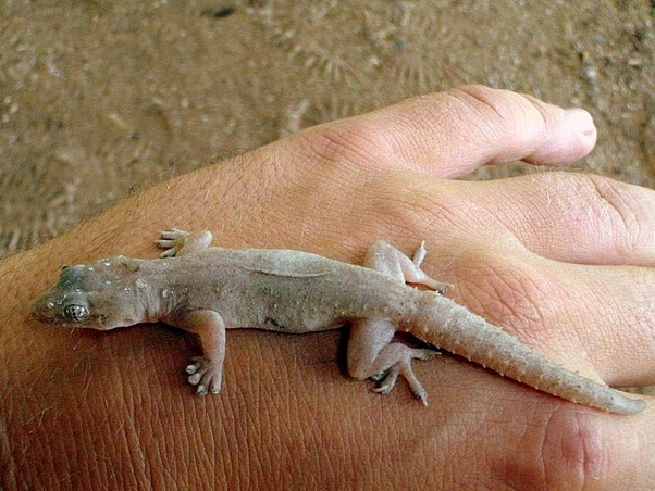 House Lizards Are Non Venomous And Harmless For Humans