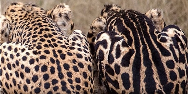 How rare is the King Cheetah? - Quora