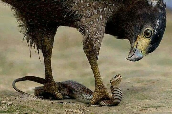 Why are the mongoose and snake natural enemies? - Quora