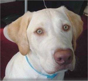 How to tell if your Labrador Retriever is an albino - Quora