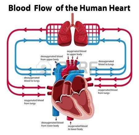 Why is there less pressure in ventricles on the right side ...