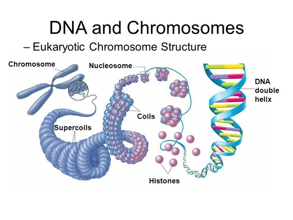 What is a chromosome quora here is a good scheme about chromosomes sorry it is not in english but it is still comprehensible ccuart Gallery