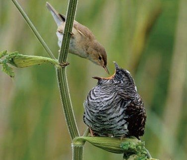 Different Species Of Cuckoos Are Parasites On Birds Again The Baby Have Right Mouth Markings For Each