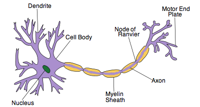 What are the differences between a neuron a nerve fibre a nerve dendrites are like antenna which receive information and pass it to cell body cell body is a processorintegrator which decides to send action potential ccuart Choice Image