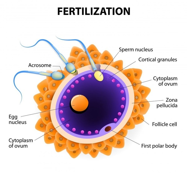What Is Fertilization Quora