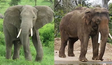 How Are African Elephants Different From Asian Elephants Quora
