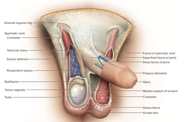 Why Are Mammalian Male Reproductive Organs So Much Simpler -9808