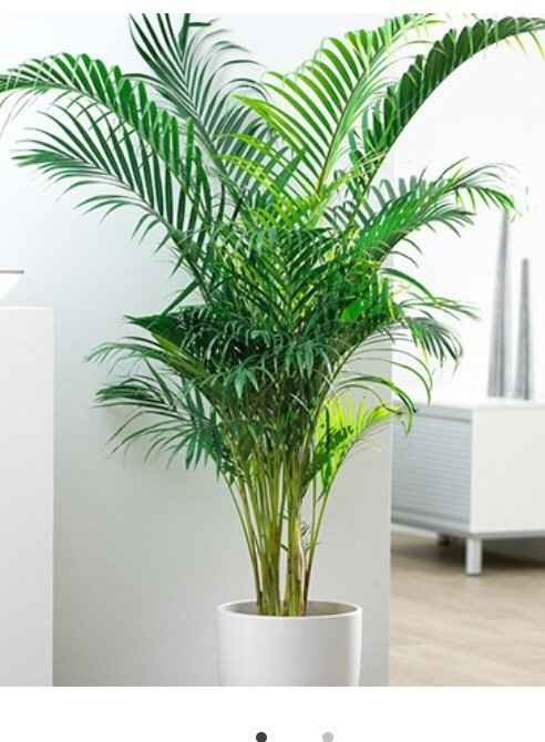 How To Prevent My Areca Palm From Getting Brown Tips Quora