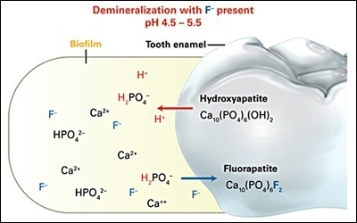 How does fluoride strengthen tooth enamel quora how does fluoride strengthen tooth enamel ccuart Gallery