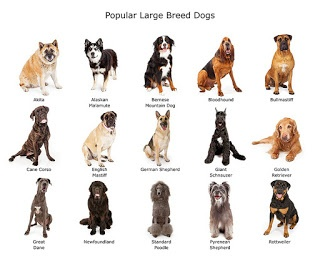 What is the gentlest big dog breed? - Quora