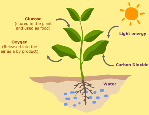 What is photosynthesis, and how does it work? - Quora